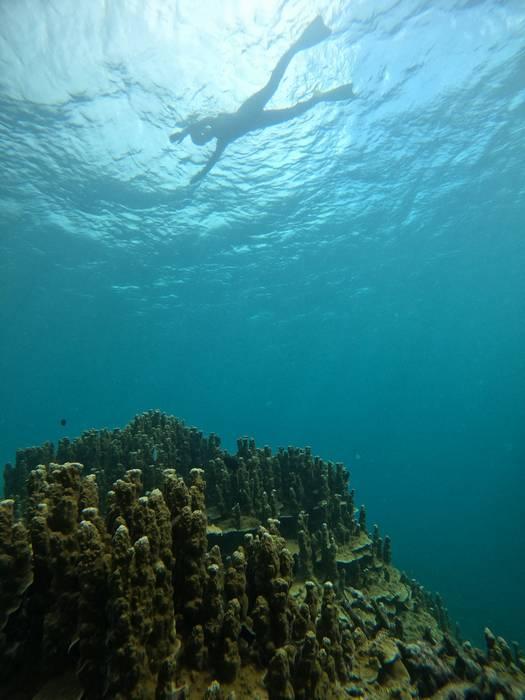 パラオハマサンゴを観察