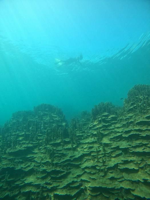 ニューパラオハマサンゴ群落