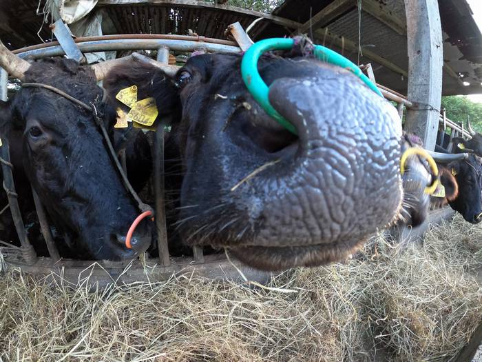 牛さんのドアップ