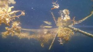かくれんぼの達人、ミカヅキツバメウオ、ナンヨウツバメウオの幼魚さん♪