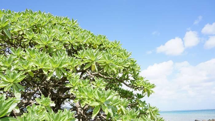 モンパの木