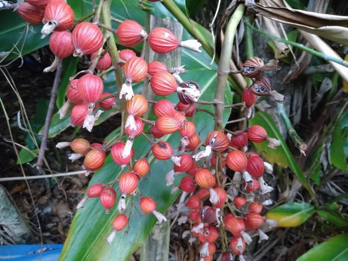 ゲットウの実がとても赤くなってます。