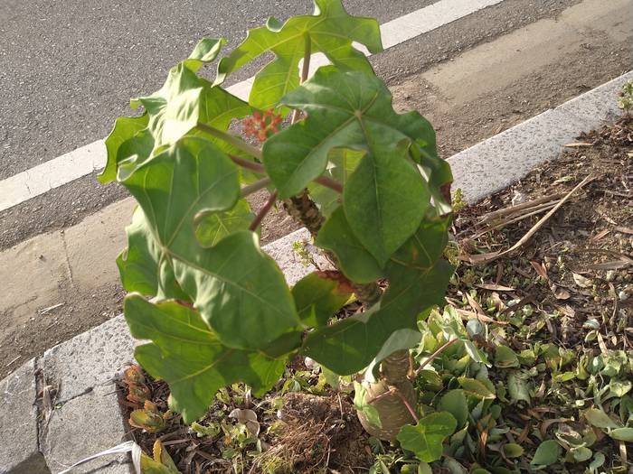 街路樹のサンゴ花