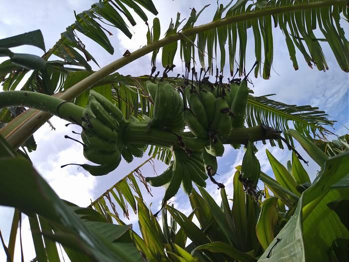 島バナナが成長中
