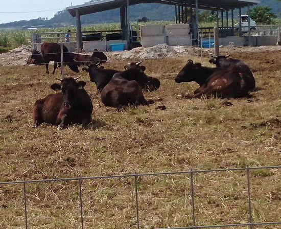 牛さんものほほんとしています