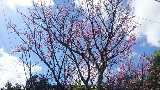 民家の桜。