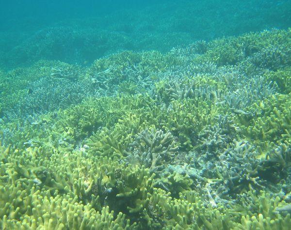 目の前はずーっとサンゴが広がっています。
