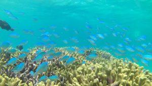 群れる魚編①石垣島東海岸、シュノーケルツアーで見れる魚たち♪