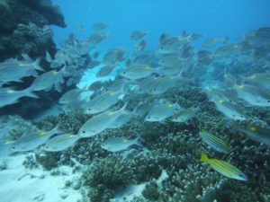 石垣島北部 東海岸でシュノーケル!見れる魚たち群れる魚編②