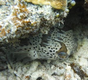 危険なお魚さん②石垣島東海岸、シュノーケルツアーで見れる魚たち♪