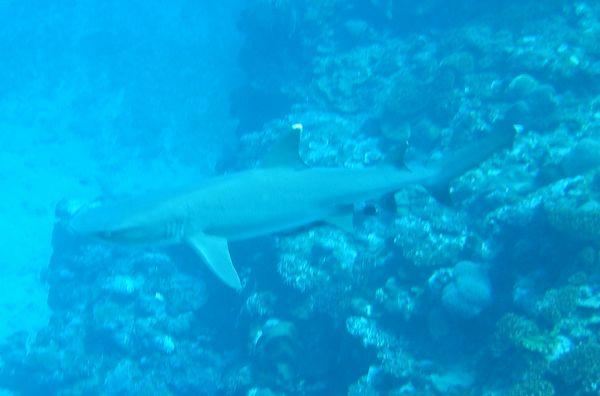 シャープなサメ