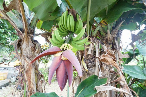 三尺バナナ、実をつけています。