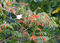 石垣島も紅葉でしょうか?