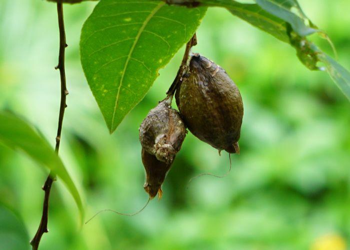 サガリバナの種