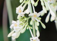 パパイアの花