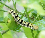 アセロラの木に幼虫