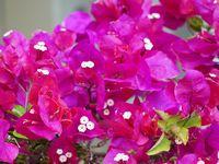 冬でも元気な植物の一つ、ブーゲンビリア
