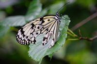 ぼろぼろの羽のオオゴマダラ