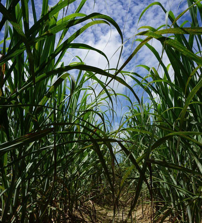 サトウキビ畑から夏空