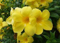 アラマンダの花、いたるところで咲いています
