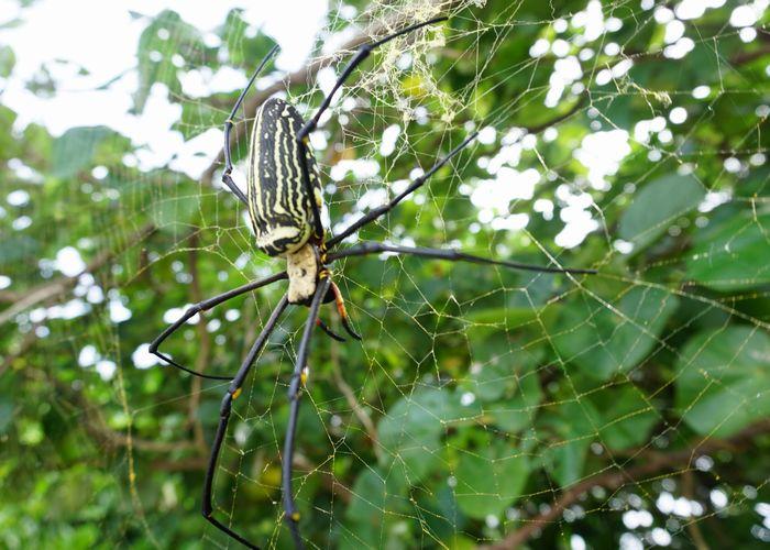 とっても大きいクモです