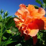 オレンジ色のハイビスカス、八重