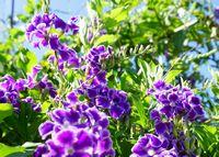 紫の花、とってもきれいです