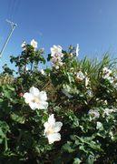 白い花がいっぱい咲いています。