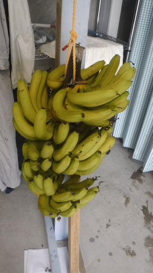 バナナ。やっと熟してきました。
