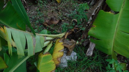 バナナが一本倒れました。
