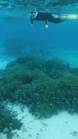 サンゴの上には、デバスズメダイが群れています