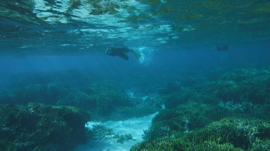 サンゴ群落をすいすい泳ぐ皆さんです。