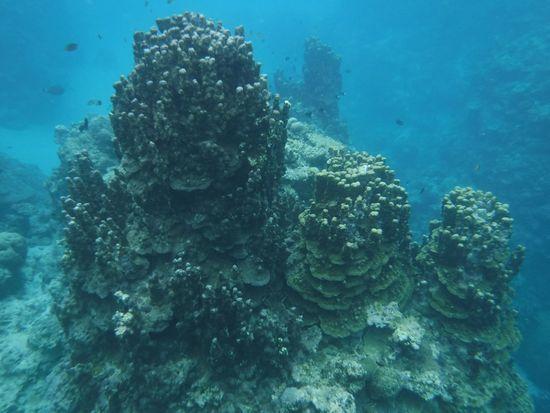 パラオハマサンゴ群落