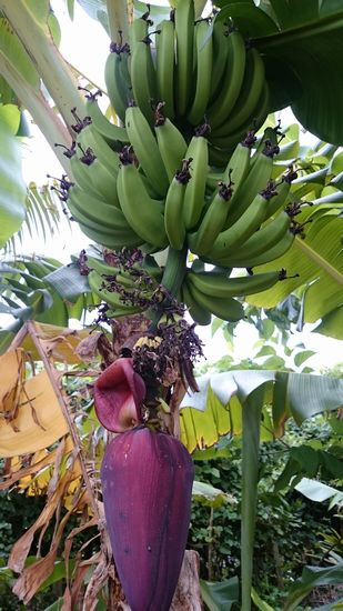 バナナ。収穫待ちです。