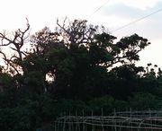 近所に大きな巨木です