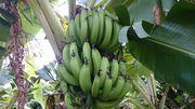 バナナすくすく成長中