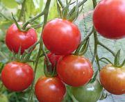 トマトの大収穫
