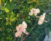 年中開花のハイビスカス