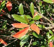 葉っぱが赤くなっている