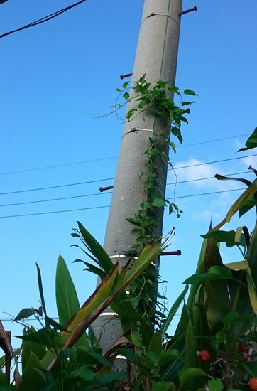 電信柱を登るツタです