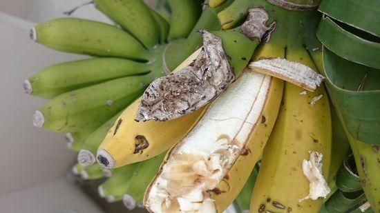 ひぃぃぃ!バナナが食べられてる