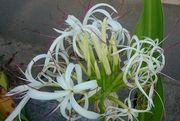 ハマユウの花、満開です。