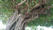 立派ながじゅまるの木