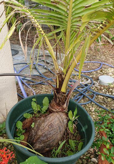 鉢植えのヤシ