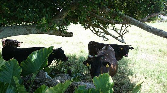 牛さんも暑いみたいです。