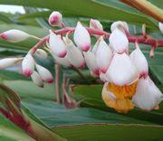 ゲットウの花、咲いています。