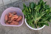 石垣島は野菜の収穫シーズン