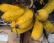 島バナナ。追熟してきております。