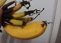 島バナナ。小さくてもちゃんと黄色になりますね!