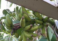 庭のバナナ。収穫時期を悩み中